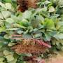 惠州艾爾巴草莓苗品種介紹