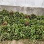 汕頭新世紀一號草莓苗價格走勢