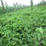 南寧太空2008草莓苗每日報價
