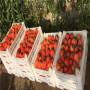 臨滄鉆石草莓苗批發基地