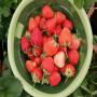 常州日本99草莓苗零售價格