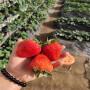 牡丹江拉松草莓苗出售