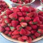 北京越麗草莓苗一棵多少錢