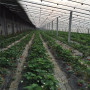 山西美香莎草莓苗價格是多少