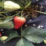 广元白雪天使草莓苗市场报价