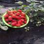 日照日本99草莓苗批發價格多少