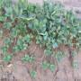 齊齊哈爾密寶草莓苗品種