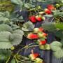 酒泉法蘭地草莓苗出售價格