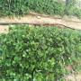 白銀日本99號草莓苗銷售基地