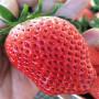 阳江森嘎拉草莓苗批发价格