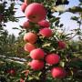 富士蘋果樹苗、富士蘋果樹苗一棵多少錢