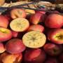 山东红星苹果苗销售价格