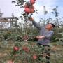 山东红蜜脆苹果树苗出售价格多少