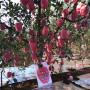 瑞香紅蘋果苗、瑞香紅蘋果苗春季價格