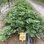 梧州脫毒草莓苗每周報價