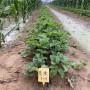 紹興紅花草莓苗批發基地