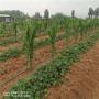 山西淡雪草莓苗價格及報價