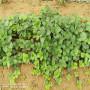 昆明紅花草莓苗每周報價