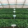林芝鈣維他草莓苗批發價格是多少
