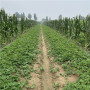 昌都津美22号草莓苗价格分析
