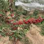 明珠櫻桃樹苗什么價位