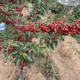 美國大紅櫻桃樹苗出售價格