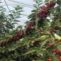 1公分大櫻桃樹苗價格及報價