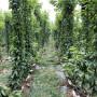 美國一號櫻桃樹苗多少錢