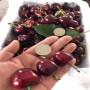 美国大红樱桃苗一棵多少钱