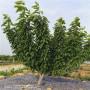 吉塞拉6號大櫻桃樹苗出售價格是多少