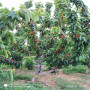 黑珍珠大櫻桃樹苗多少錢一株