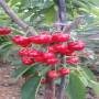 金頂紅大櫻桃樹苗基地