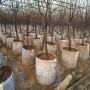 黑珍珠櫻桃苗春季價格
