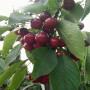 紅櫻桃樹苗出售基地