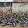 鸡心红樱桃树苗品种介绍