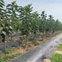 紅寶石櫻桃樹苗新品種