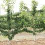 5公分櫻桃苗春季價格