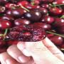 5-1辉煌樱桃苗每周价格