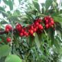 美早樱桃树苗新品种