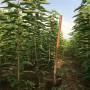 美國大櫻桃樹苗批發價格是多少