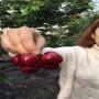 早紅寶石櫻桃樹苗出售基地