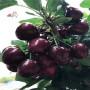塔瑪拉大櫻桃苗什么價錢