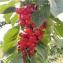 特早红樱桃树苗价格及报价