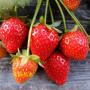 南方紅顏草莓在甘肅武威種植及種植時間 產量高