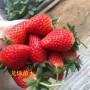 南方紅顏草莓在陜西延安大棚種植技術指導 果苗種植