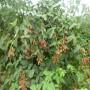 鬼怒甘草莓苗在吉林白山怎么提供成活率保成活