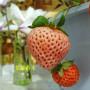 遼寧撫順天仙醉草莓苗怎么提供成活率高成活率