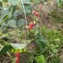 江西抚州法兰地草莓苗怎么提供成活率高成活率
