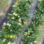 山西阳泉天仙醉草莓苗怎么提供成活率高成活率