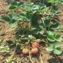 江苏扬州天仙醉草莓苗怎么提供成活率苗木选择